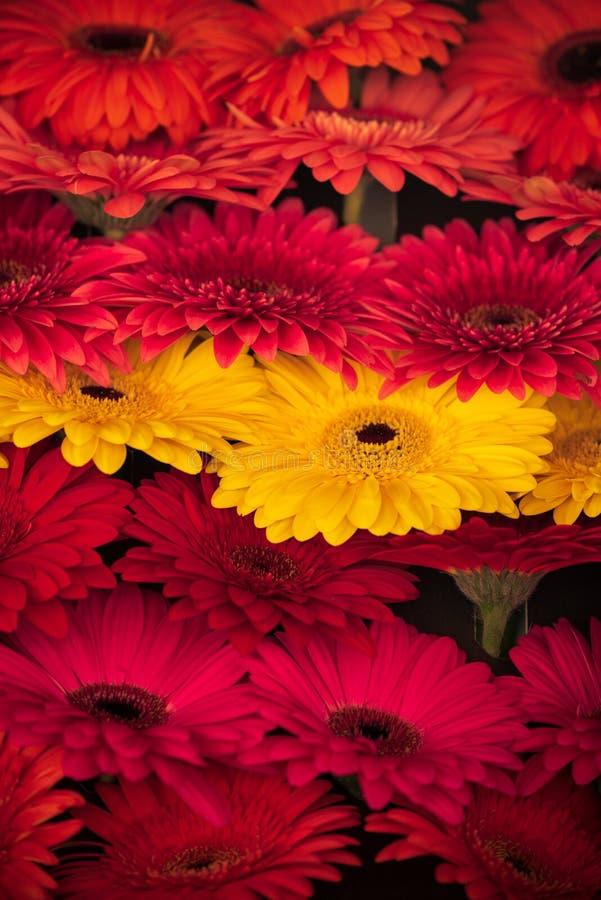 Um grupo da margarida do barbeton de flores coloridas bonitas imagens de stock royalty free