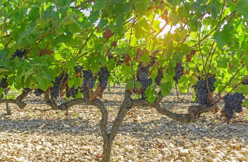 Um grupo da uva madura preta escura fresca na folha verde sob a luz solar macia na estação a mais havest, plantando no vinhedo or imagens de stock royalty free