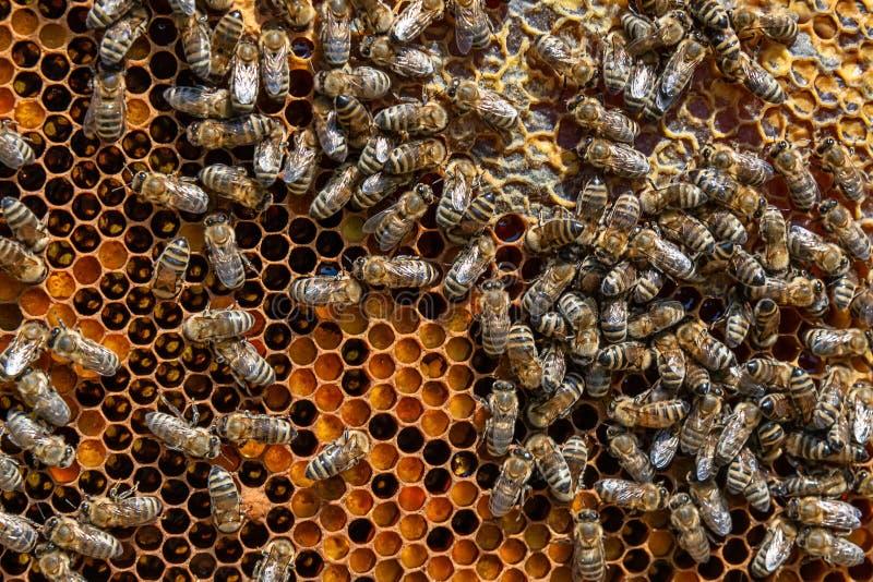 Um grupo das abelhas em um favo de mel fotos de stock royalty free