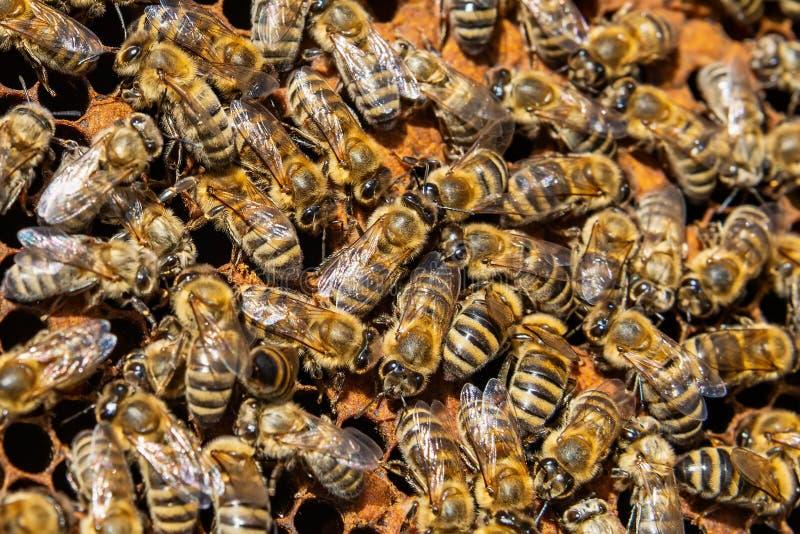 Um grupo das abelhas em um favo de mel foto de stock royalty free