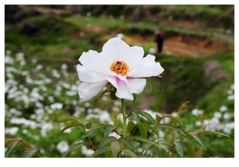 Um grupo das flores brancas imagens de stock
