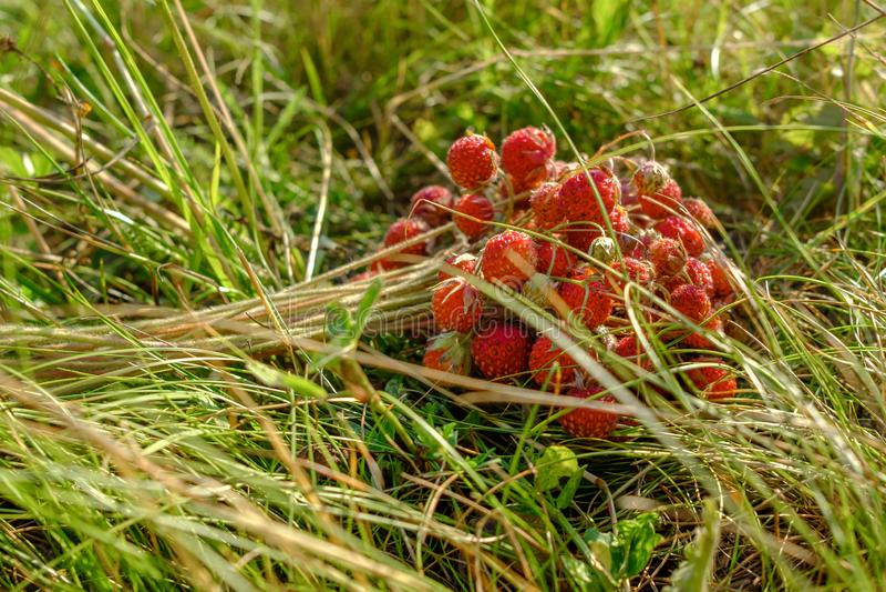 Um grupo das morangos vermelhas selvagens maduras que encontram-se na grama Presentes orgânicos doces perfumados da natureza imagens de stock