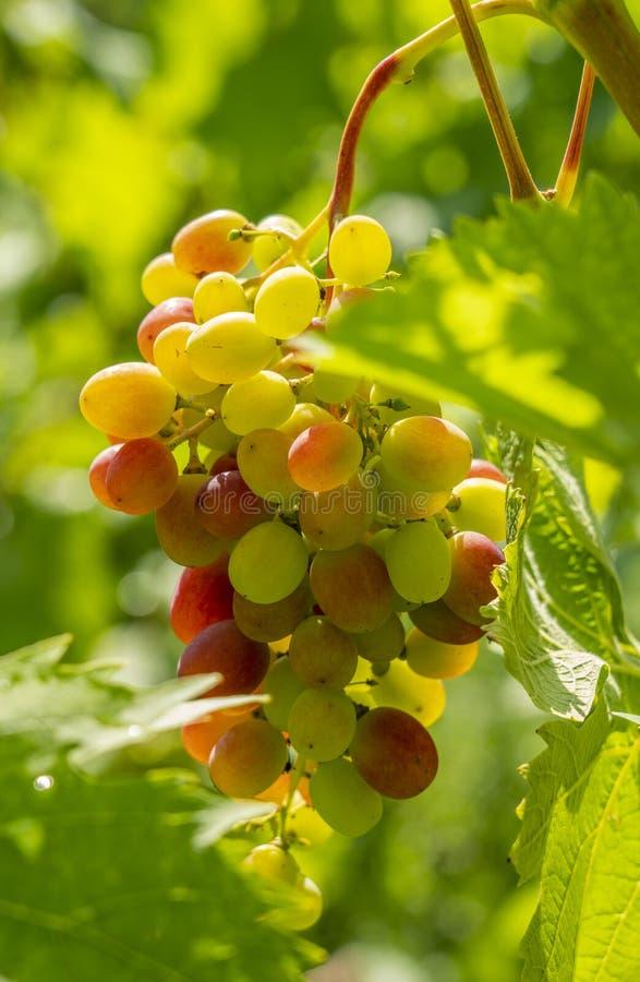 Um grupo das uvas de tabela doces maduras que penduram em uma videira iluminada pelos raios brilhantes do vinhedo do sol fotos de stock royalty free