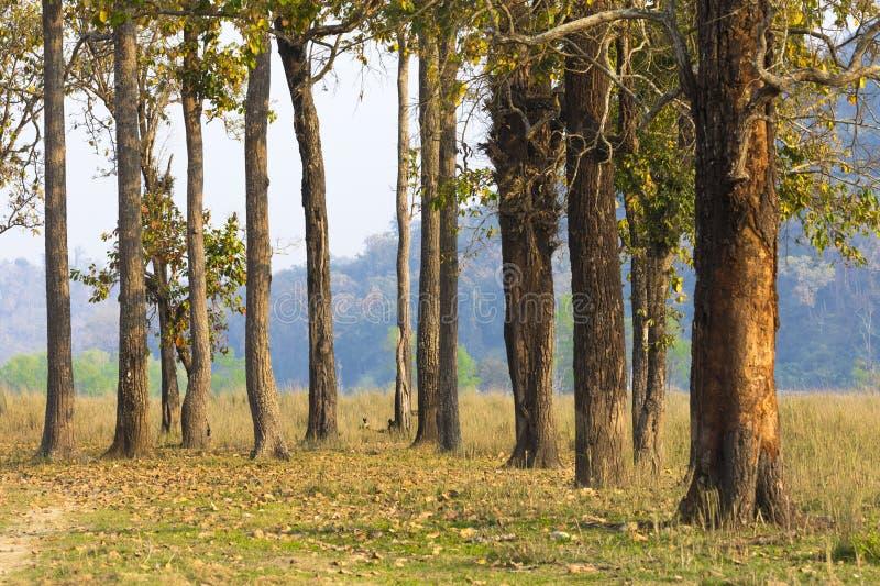 Um grupo de árvores em nacionais chitwan da floresta estaciona Nepal imagem de stock royalty free