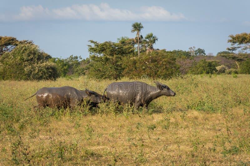 Um grupo de búfalo em seu habitat natural, savana Bekol, Baluran o parque nacional do aluran é uma área da preservação da florest imagens de stock royalty free