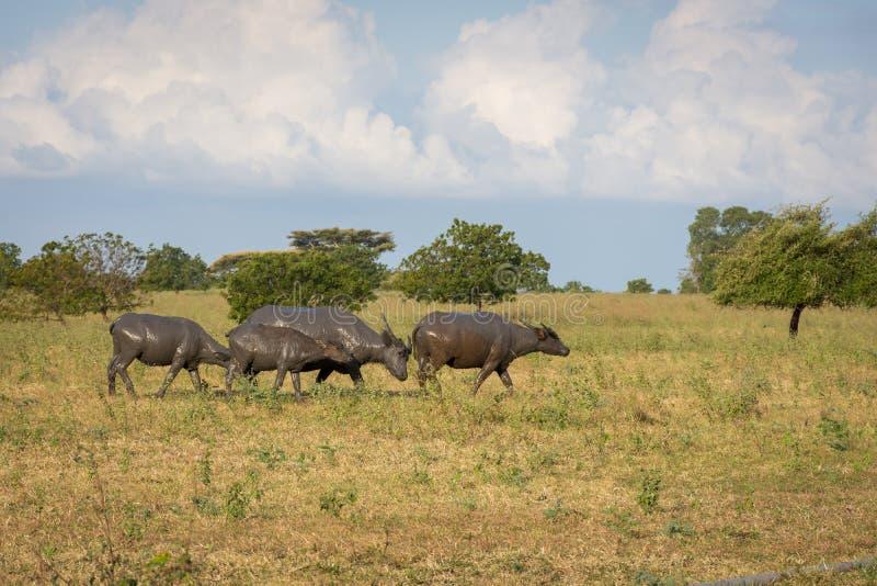 Um grupo de búfalo em seu habitat natural, savana Bekol, Baluran o parque nacional do aluran é uma área da preservação da florest imagem de stock royalty free