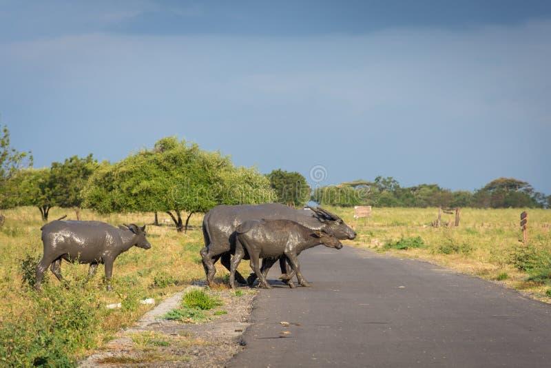 Um grupo de búfalo em seu habitat natural, savana Bekol, Baluran o parque nacional do aluran é uma área da preservação da florest fotos de stock