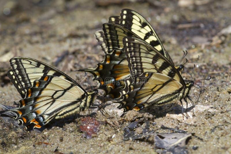 Um grupo de borboletas do swallowtail do tigre (glaucas de Papilio) foto de stock