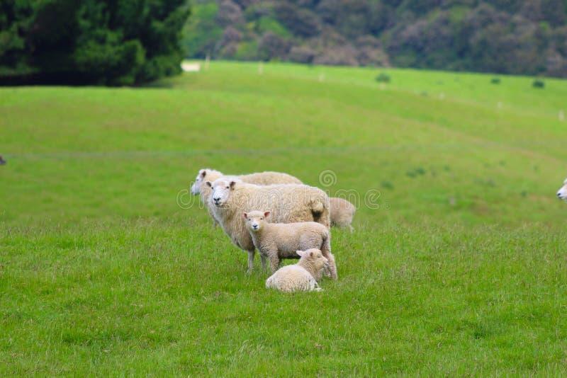Um grupo de carneiros, o Catlins, ilha sul, Nova Zelândia fotografia de stock
