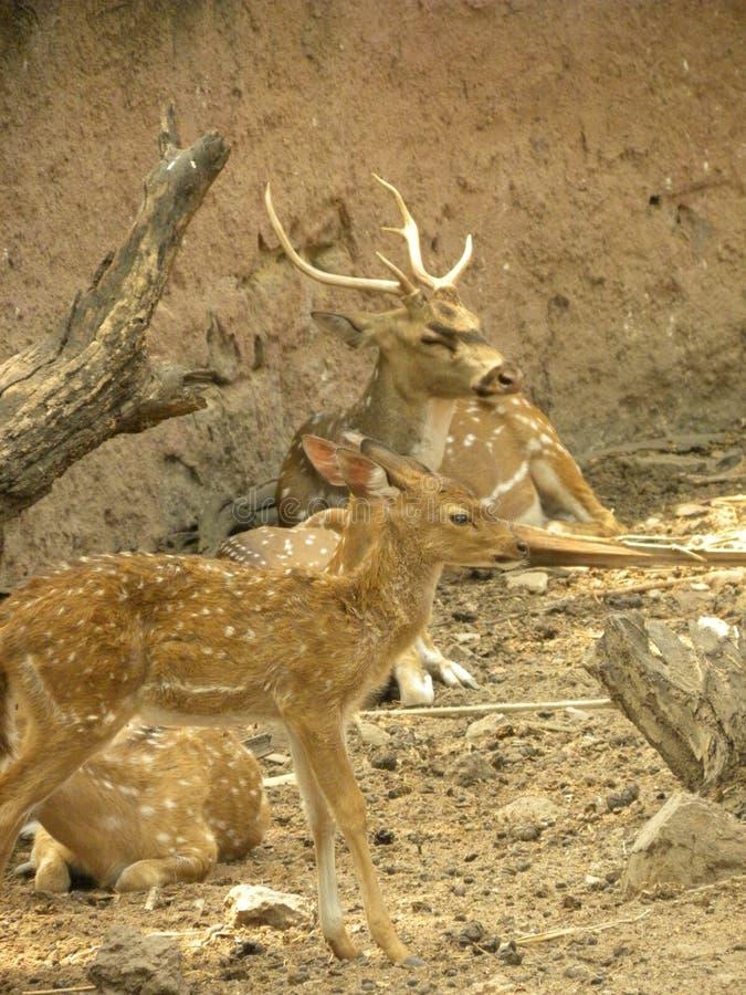 Um grupo de cervos Spotted ou de linha central da linha central de Cheetal foto de stock