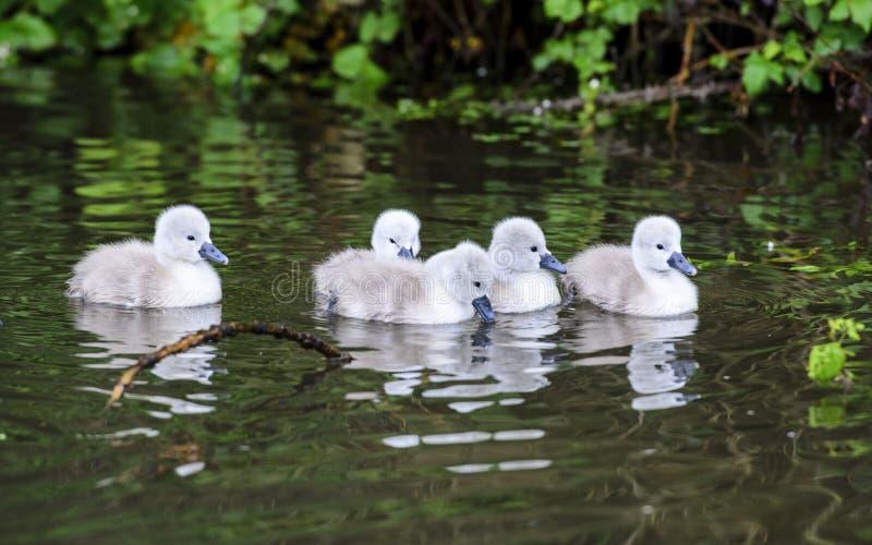 Um grupo de cisnes novos foto de stock