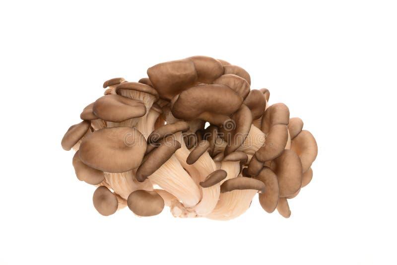 Um grupo de cogumelos de ostra fotos de stock royalty free