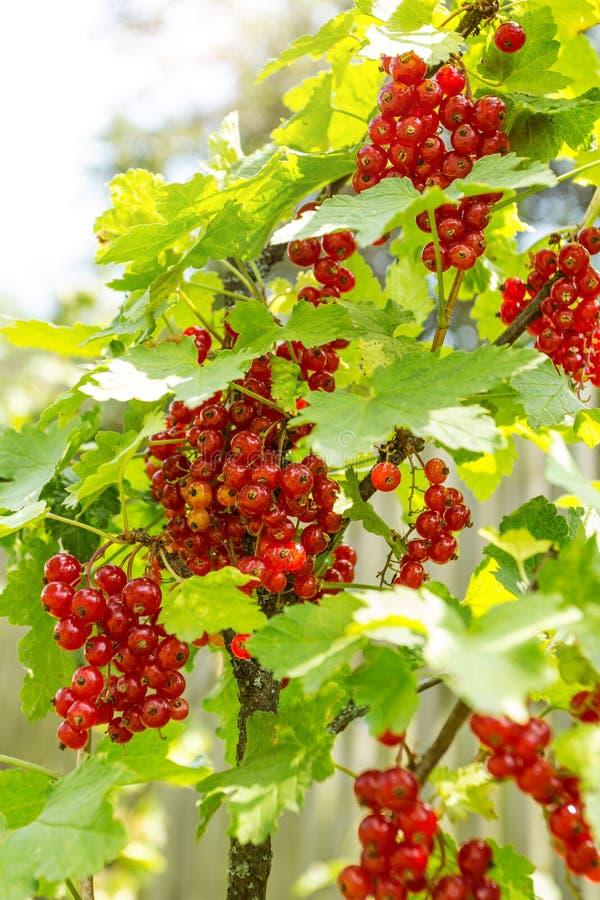 Um grupo de corintos vermelhos em um ramo imagens de stock royalty free