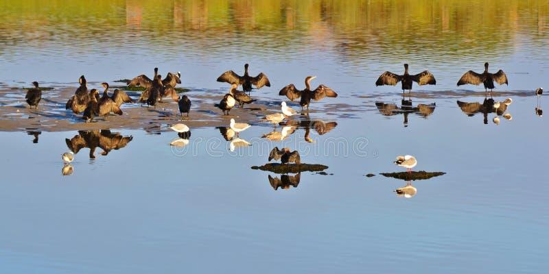 Lugar de secagem para Cormorants imagem de stock