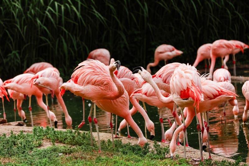 Um grupo de flamingos cor-de-rosa que caçam na lagoa, oásis do verde no ajuste urbano, flamingo fotografia de stock