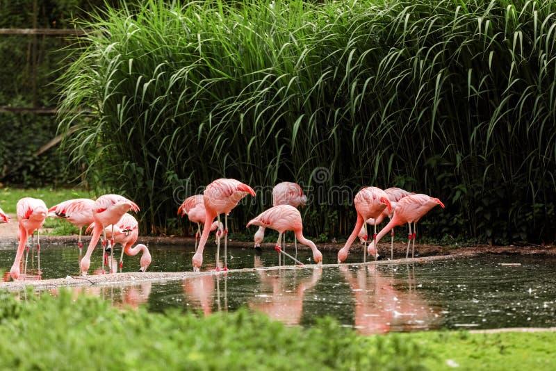Um grupo de flamingos cor-de-rosa que caçam na lagoa, oásis do verde no ajuste urbano, flamingo imagens de stock