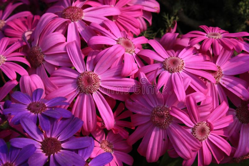 Um grupo de flores bonitas cor-de-rosa brilhantes fotografia de stock