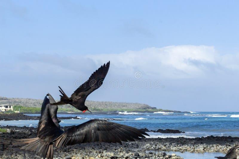 Um grupo de fragatas aterra na costa de Santa Cruz Island em Galápagos fotografia de stock