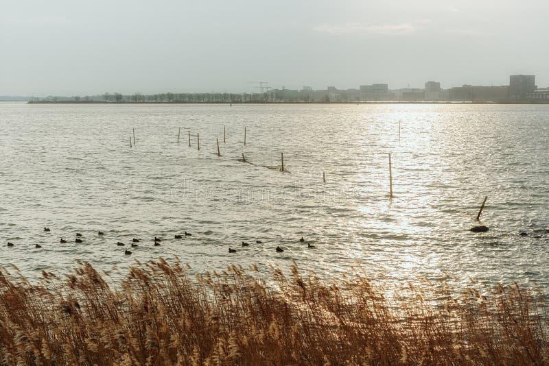 Um grupo de galeirões e de redes de pesca no lago Buiten IJ com foto de stock