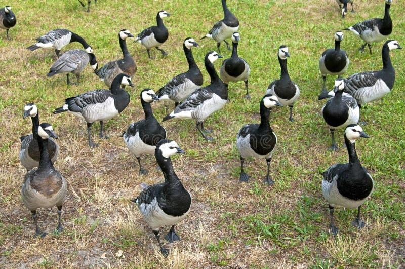 Um grupo de gansos de craca selvagens em um parque foto de stock