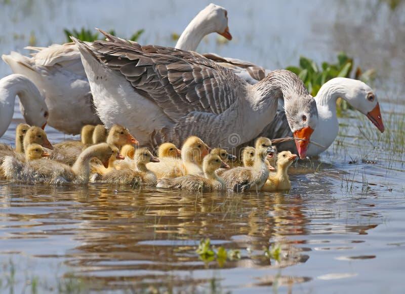 Um grupo de gansos domésticos com ganso fotos de stock royalty free
