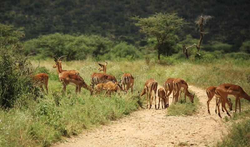 Um grupo de gazelle fotografia de stock royalty free