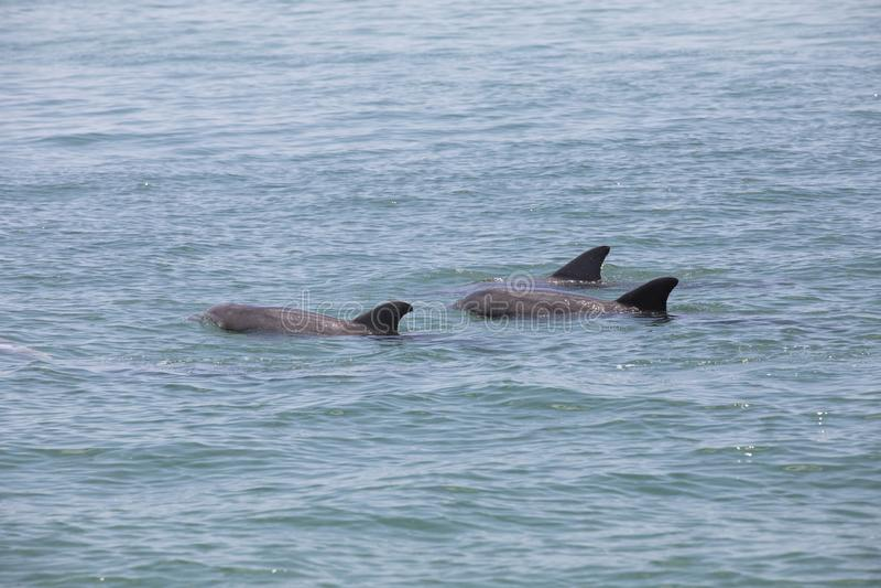 Um grupo de golfinhos selvagens imagem de stock