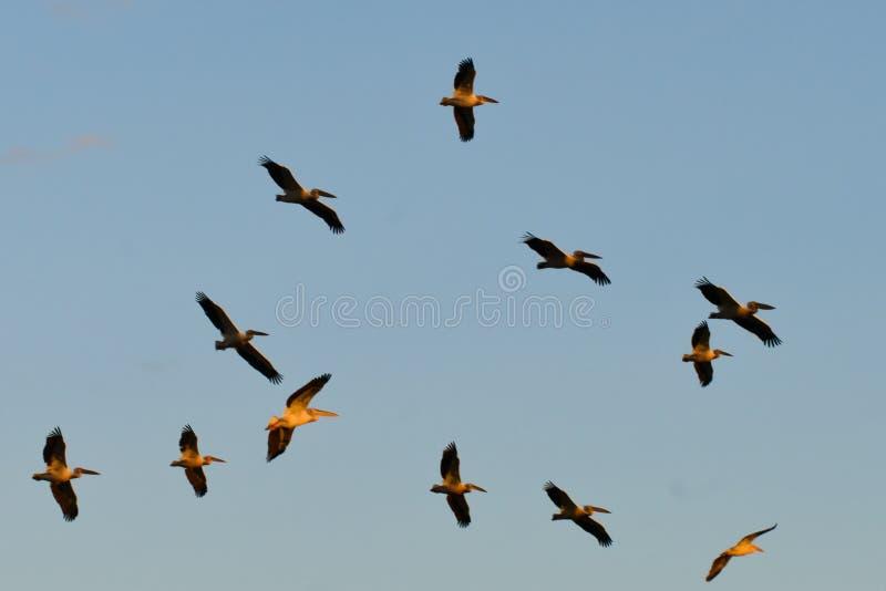 Um grupo de grandes pelicanos brancos fotos de stock