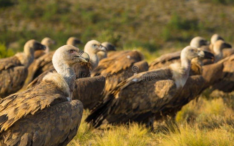 Um grupo de Griffon Vultures que descansa na terra fotos de stock