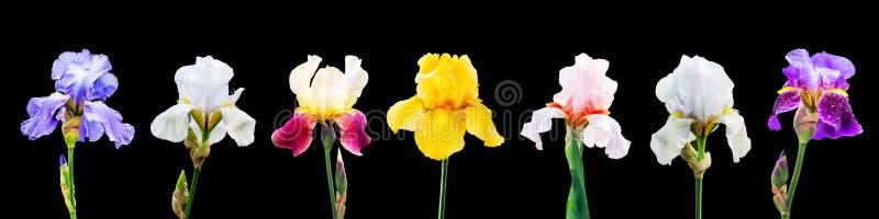 Um grupo de imagens de flores coloridos da íris em um background_ isolado preto foto de stock