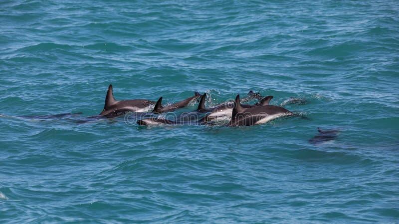 Um grupo de obscurus obscuro selvagem de Lagenorhynchus dos golfinhos perto de Kaikoura, Nova Zelândia imagem de stock