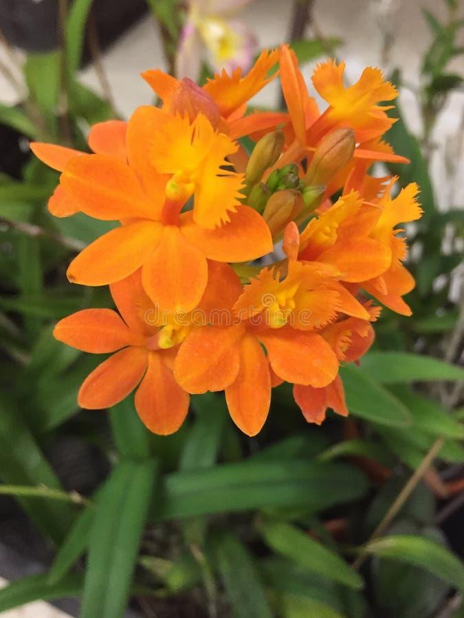 Um grupo de orquídeas alaranjadas fotografia de stock royalty free