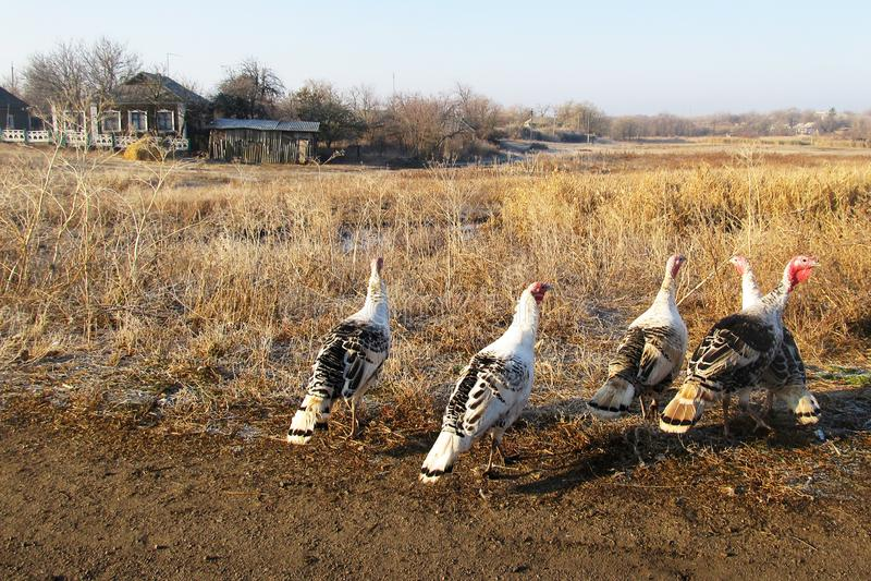 Um grupo de pássaros do peru pasta na grama seca no outono à proximidade da habitação humana imagem de stock royalty free