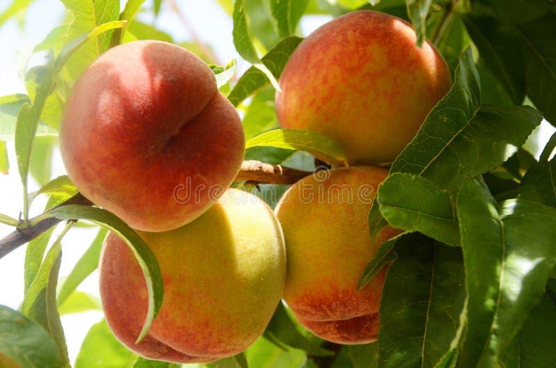 Um grupo de 4 pêssegos suculentos doces em uma árvore de pêssego imagens de stock royalty free