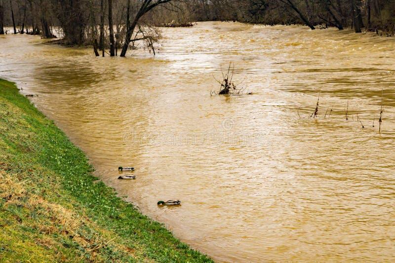 Um grupo de pato selvagem Duck Swimming por um rio de inundação de Roanoke imagens de stock royalty free