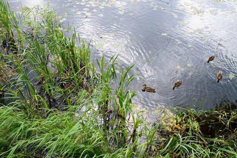 Um grupo de patos dirigidos verdes imagens de stock