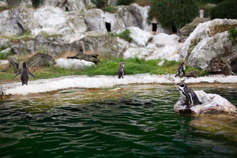 Um grupo de pinguim que está em pedras aproxima a água no dia ensolarado Fotografia recolhida o jardim zoológico imagem de stock