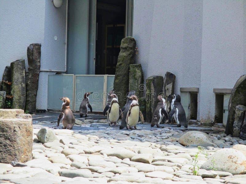 um grupo de pinguins no jardim zoológico imagens de stock