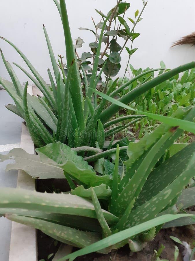 Um grupo de plantas de aloé vera fotos de stock royalty free