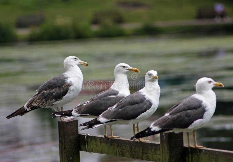 Um grupo de poucas gaivota suportadas pretas fotografia de stock
