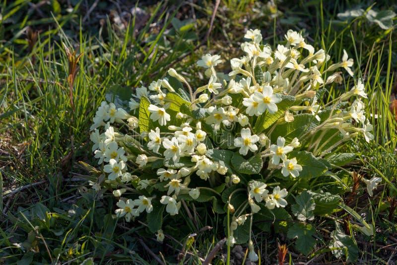 Um grupo de prímulas amarelas selvagens que florescem na primavera a luz do sol foto de stock royalty free