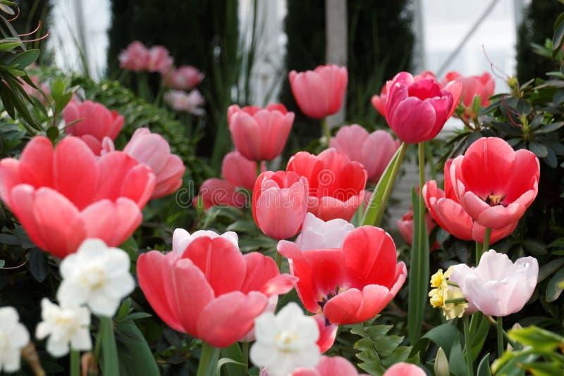 Um grupo de tulipas cor-de-rosa fotografia de stock