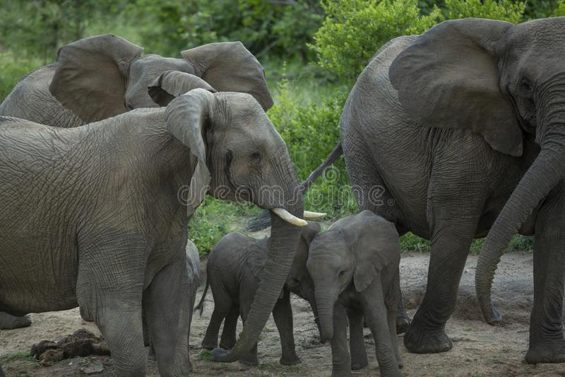 Um grupo de vacas entusiasmados do elefante imagens de stock