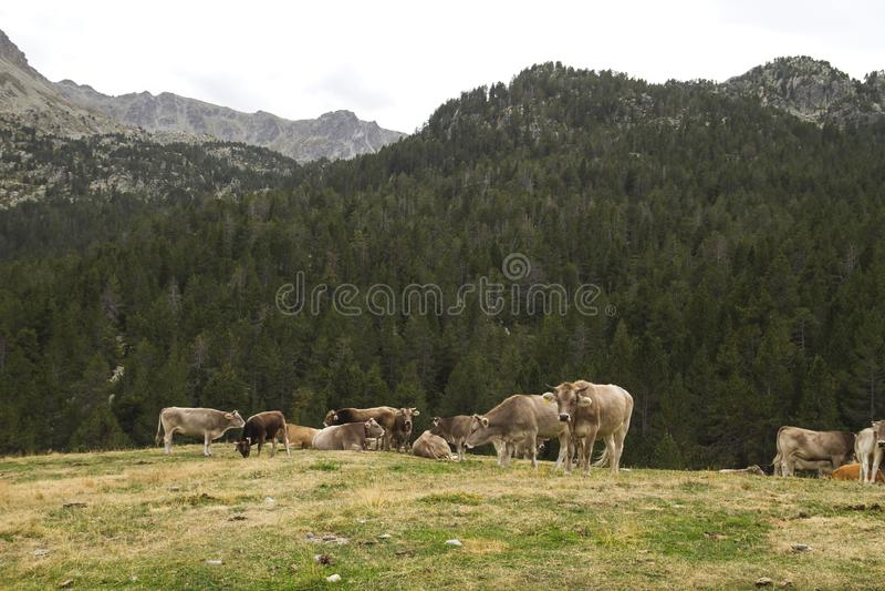 Um grupo de vacas nas montanhas imagem de stock royalty free