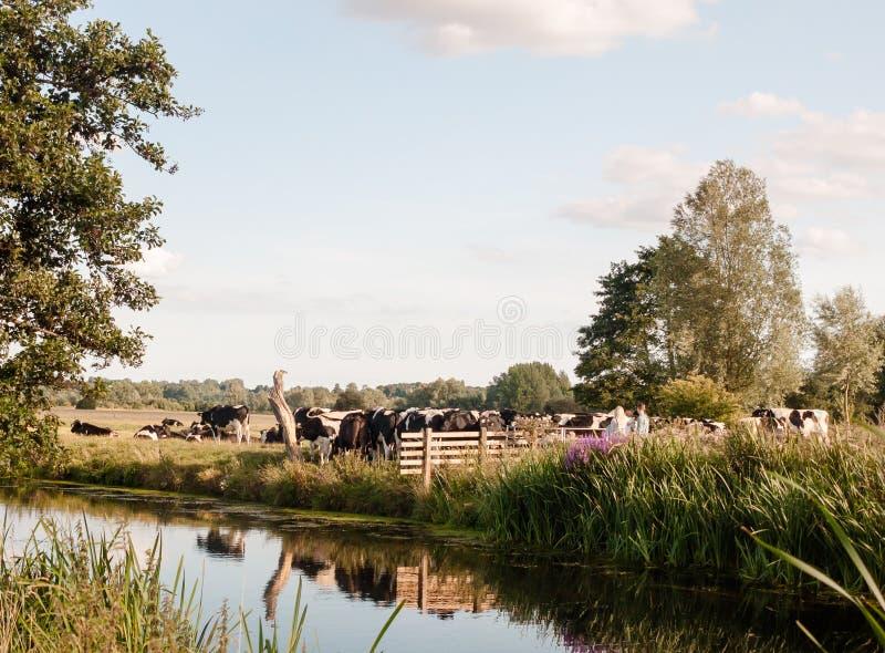 Um grupo de vacas que obstruem uma família da porta da caminhada do país da passagem imagem de stock royalty free