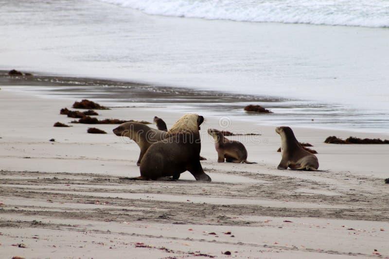 Um grupo de whit australiano do leão de mar um homem dominante adulto, Sul da Austrália da ilha do canguru foto de stock