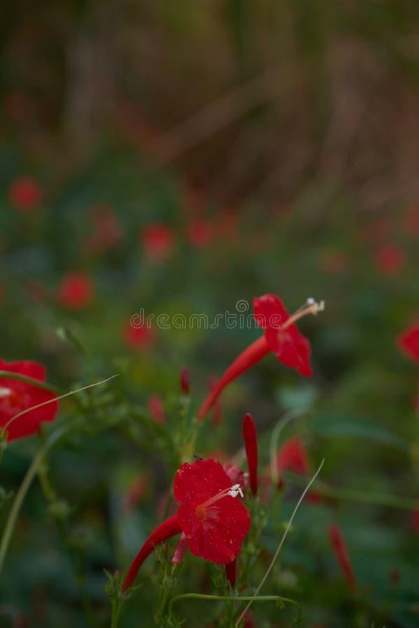 Um grupo de Wildflowers vermelhos fotos de stock royalty free