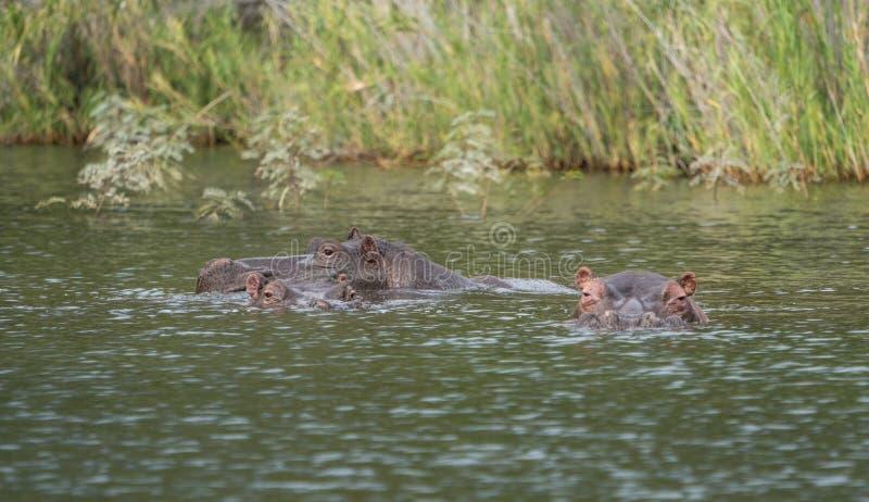 Um grupo do hipopótamo em um lago que olha a câmera imagens de stock