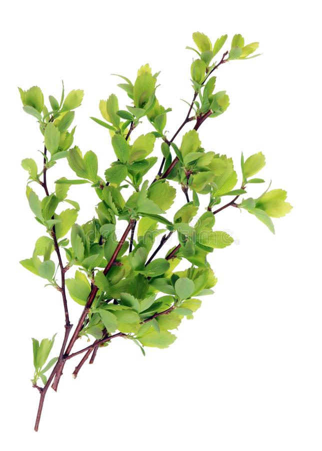 Um grupo dos galhos com as folhas novas do arbusto do jardim da mola imagem de stock royalty free