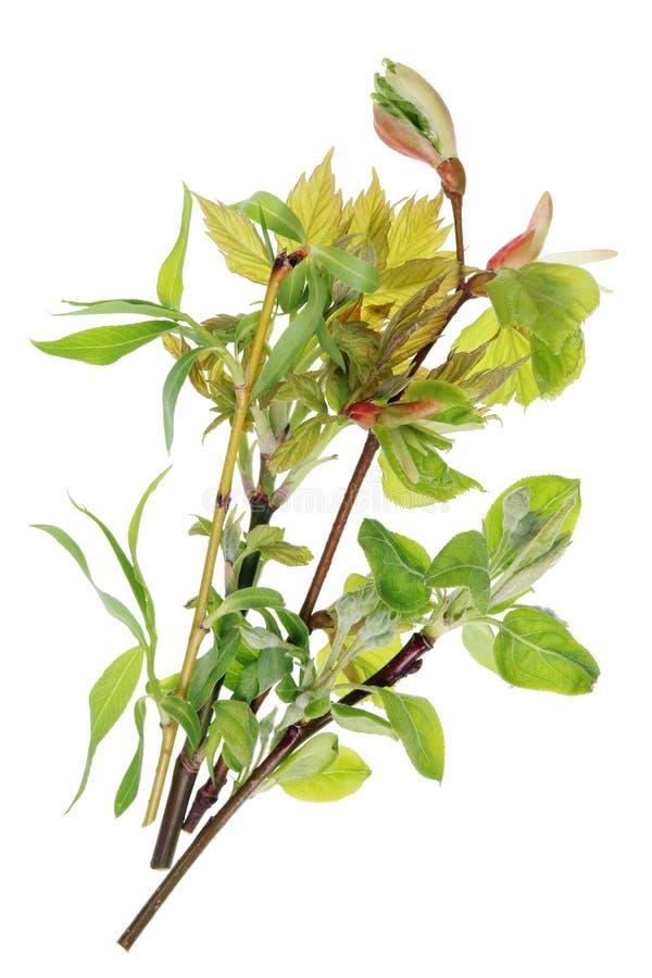 Um grupo dos galhos com folhas dos jovens e botões do eu da mola de abril imagens de stock royalty free